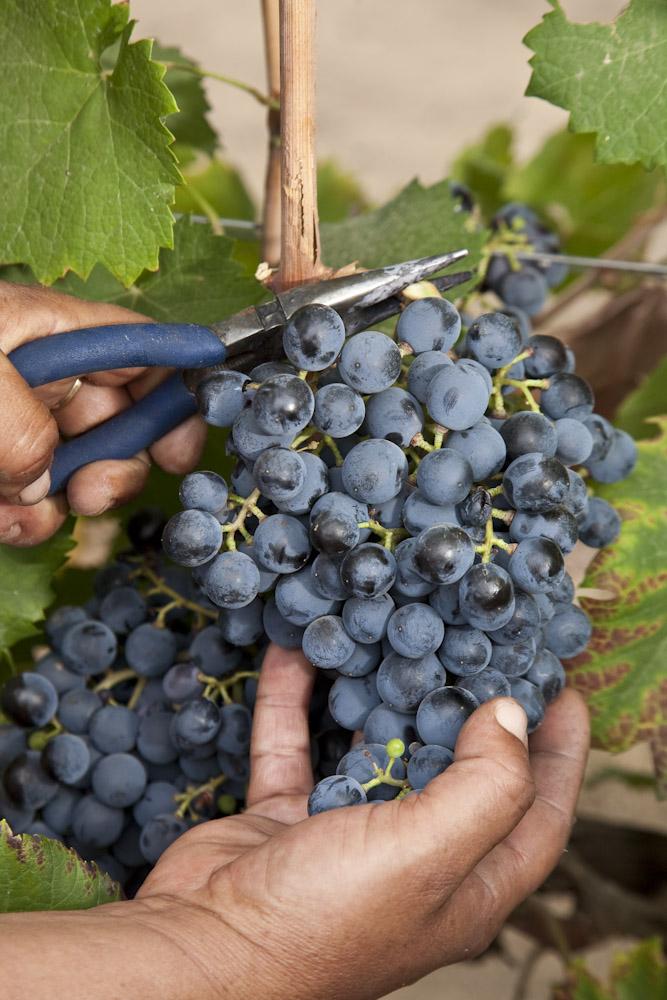 Drogen van de druiven aan de stam.